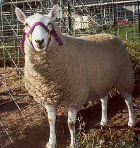 Picture of Breeding Ewe Pixie, keeping a healthy flock by proper maintenance
