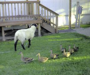 Lamb and the local wild life during the spring